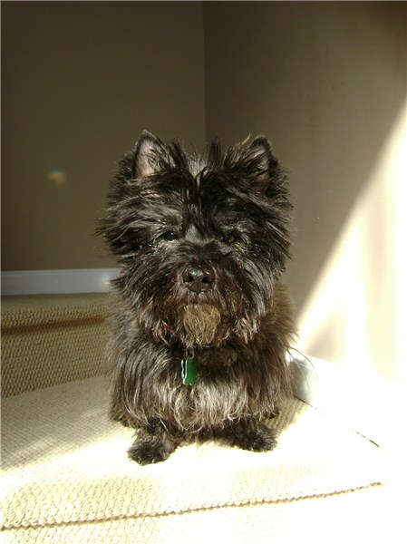 Cairn Terrier Images, Temperament, and Life Expectancy – Juggle.com