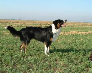 English Shepherd Temperament | RM.