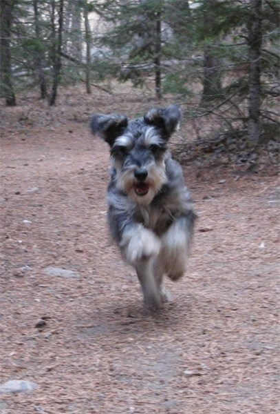 Miniature Schnauzer Images, Temperament, and Life Expectancy ...