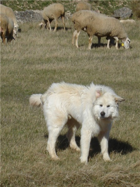 pyrenees mountain dog. Pyrenean Mountain Dog Image