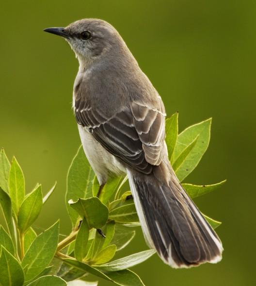 the symbol of the mockingbird By ina woolcott mockingbird's gifts include finding your sacred song, recognizing your innate abilities, using knowledge gained on the outside to heal the inside.