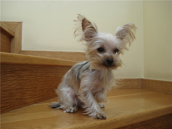 Silver Blue Yorkshire Terrier